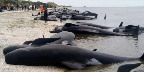 Nuova Zelanda: oltre 400 cetacei spiaggiati, le prime immagini