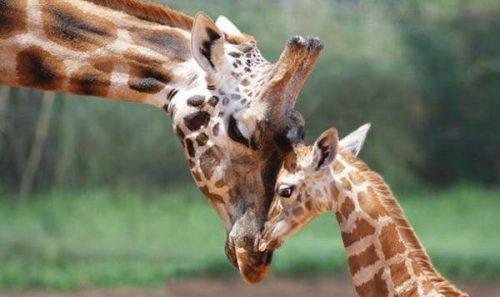 Giraffe a rischio estinzione: l'allarme degli animalisti
