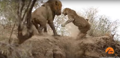 Leone attacca leopardo: l'insolita sfida ripresa in un video