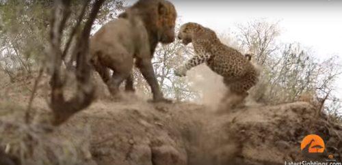 Leone attacca leopardo: l'insolita sfida ripresa in un video