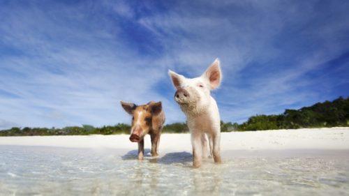 Bahamas, le possibili cause della morte dei maialini nuotatori