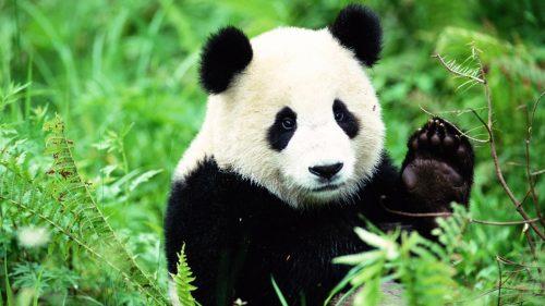 Panda: ecco perché sono bianchi e neri, la ricerca