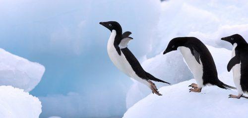 Record di pinguini in Antartide: sono 3,6 milioni in più