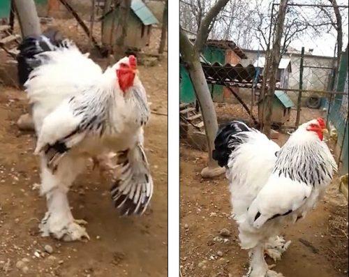 Il pollo gigante che impazza sul web: trucco o realtà?