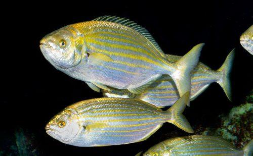 Sarpa salpa, il pesce 'allucinogeno' con gli effetti dell'LSD