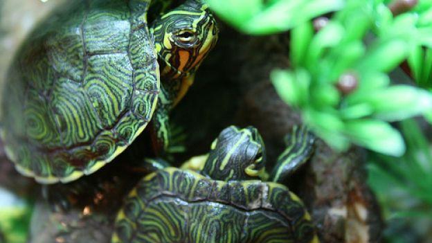 Meningite da tartaruga: neonato ricoverato in ospedale