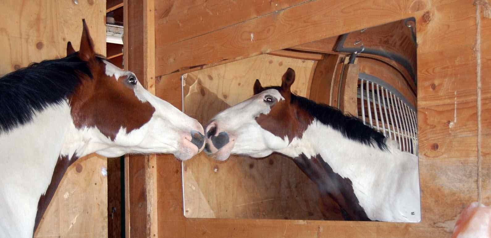 I cavalli sanno riconoscersi allo specchio? La ricerca
