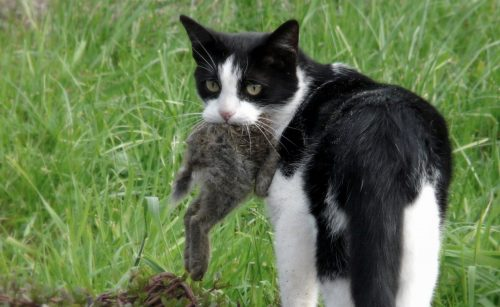 Australia: al via la più grande campagna di eradicazione di gatti e volpi
