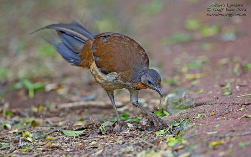 Menura, l'uccello dalle incredibili imitazioni: il video