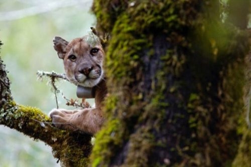 Animali: i puma sono terrorizzati dalla voce umana