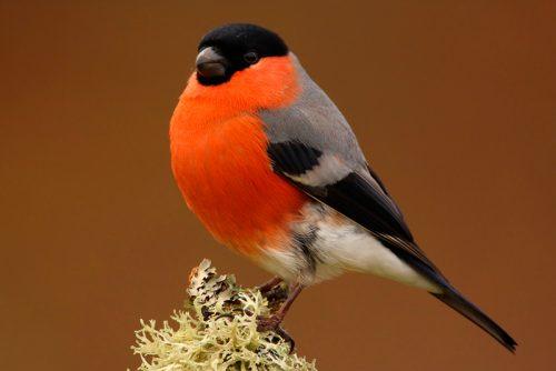 Uccelli: ecco come i ciuffolotti sfruttano la nicotina