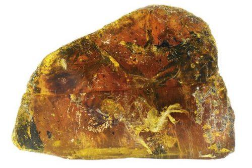 Uccello di cento milioni di anni fa scoperto nell'ambra: è record