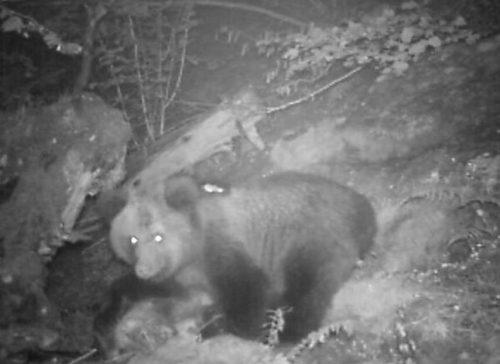 Trentino: uomo attaccato da un orso vicino ai laghi di Lamar