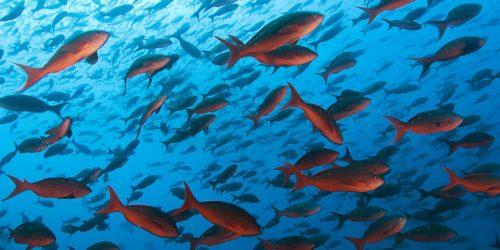 Gli effetti sui pesci di anticoncezionali e psicofarmaci negli oceani