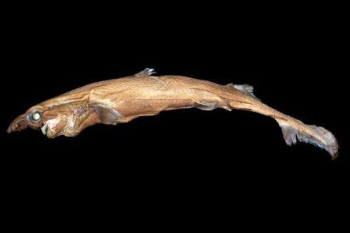 Natura: scoperto uno squalo bioluminescente a largo delle Hawaii