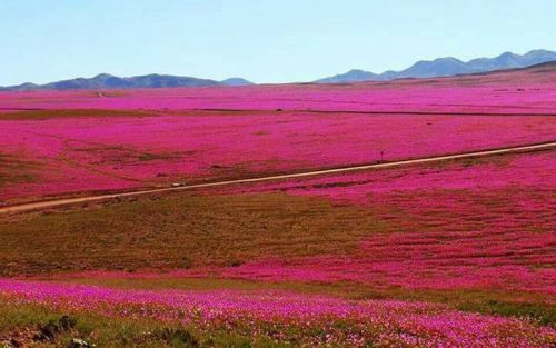Deserto di Atacama: eccezionale fioritura anticipata