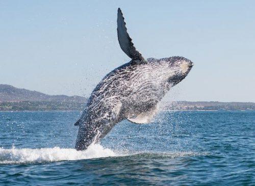 balena sbalza in aria una barca