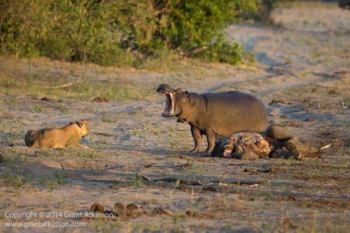 Ippopotamo contro leone: il durissimo scontro ripreso in Kenya, il video