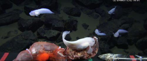 Fossa delle Marianne: avvistato pesce nel punto più profondo al mondo