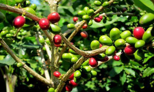 Entro il 2050 la coltivazione del caffè potrebbe scomparire