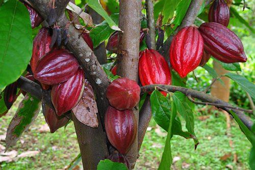 Ambiente: gli effetti distruttivi della produzione di cioccolato