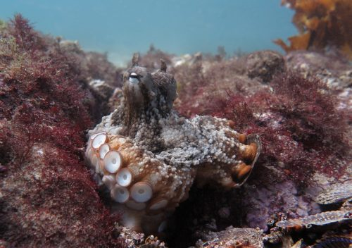 Octlantis, la città dei polpi scoperta in Australia