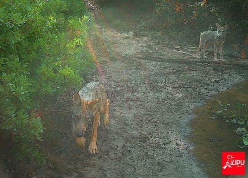 Roma: cuccioli di lupo nella capitale, la prima riproduzione dopo un secolo
