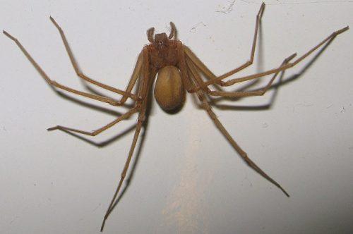 Il ragno violino è realmente mortale? I rischi reali dell'aracnide