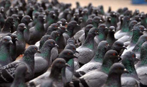 avvelenamento da piccioni