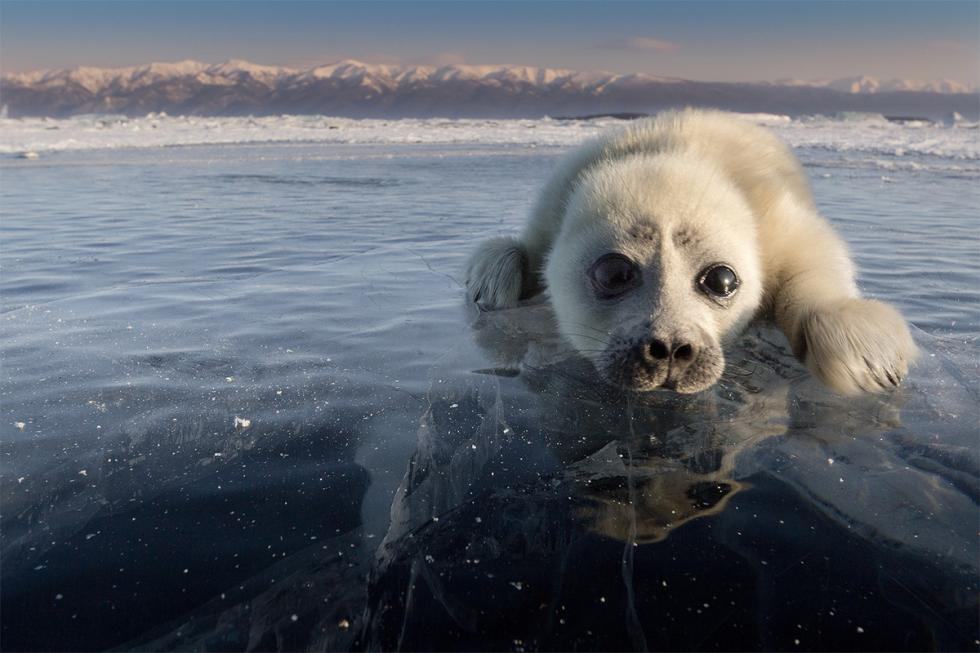 Lago Bajkal: misteriosa strage di foche, oltre 130 esemplari morti