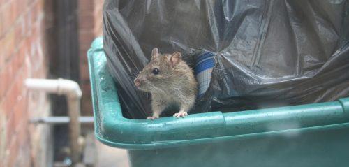 Invasione di topi in Olanda: aumentano i casi di leptospirosi