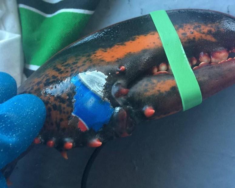 Pescata un'aragosta con il logo della Pepsi impresso su una chela