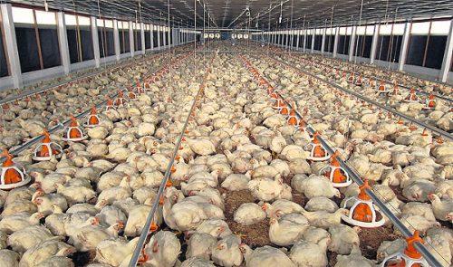 Aviaria in Italia: pericoloso focolaio in Piemonte, 49mila capi verso l'abbattimento