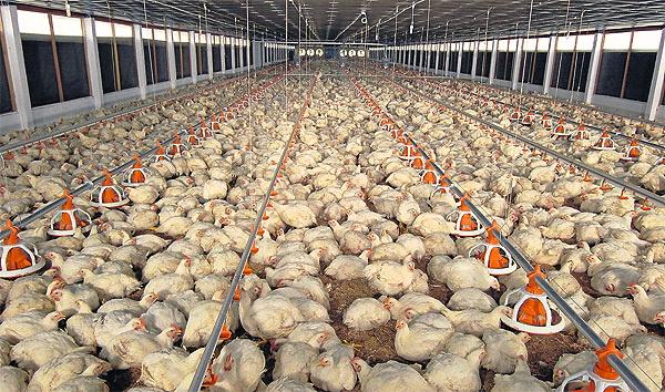Aviaria in Italia: pericoloso focolaio in Piemonte, 49mila verso l'abbattimento