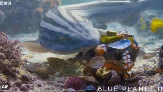 Natura: lo squalo attacca, il polpo si difende con le conchiglie
