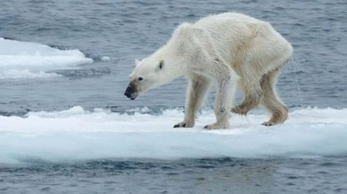 Orso polare denutrito, le immagini shock sugli effetti del riscaldamento globale