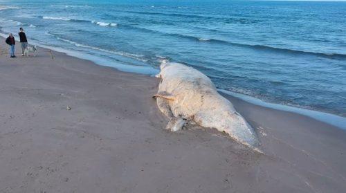 Balena spiaggiata da oltre 40 giorni in Sardegna, scoppia la polemica