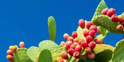Fico d'India, l'alimento del futuro? Le straordinarie caratteristiche del frutto