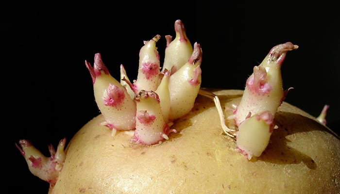 Patate con germogli e rischio intossicazione: ecco quando possono essere consumate