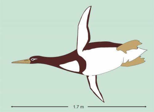 Scoperti in Nuova Zelanda i resti di un enorme pinguino