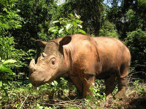 Natura: il rinoceronte di Sumatra sull'orlo dell'estinzione