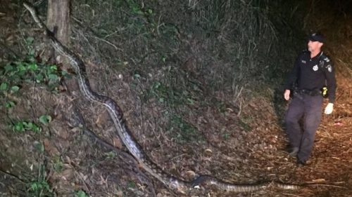 Agenti di polizia australiani scoprono un serpente lungo 5 metri