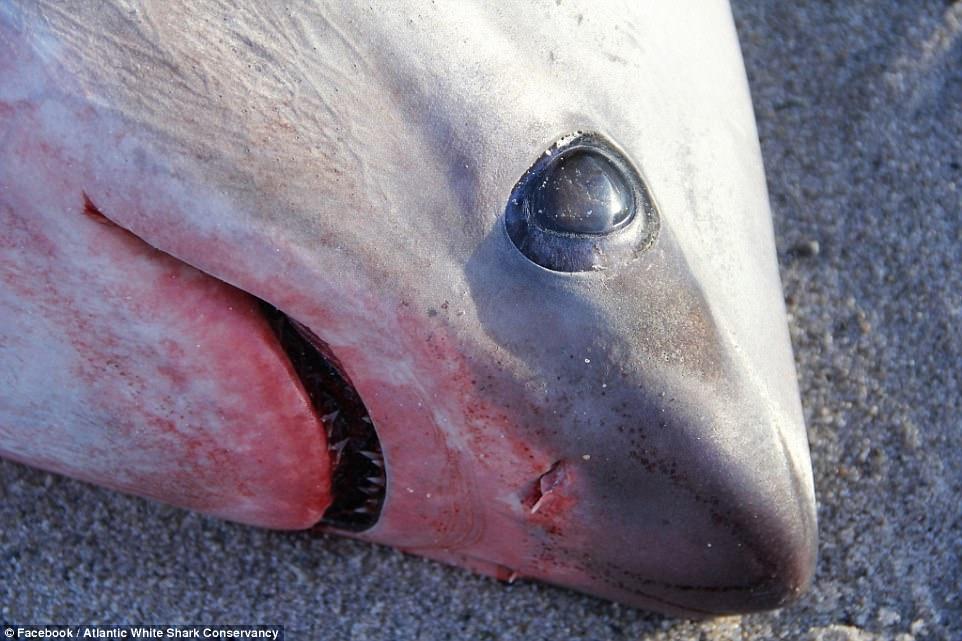 Freddo record negli Usa: branco di squali uccisi da freddo in Massachusetts