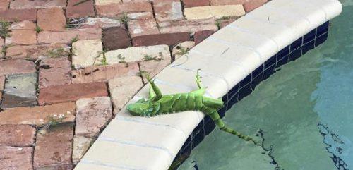 Freddo in Florida: piovono iguane congelate