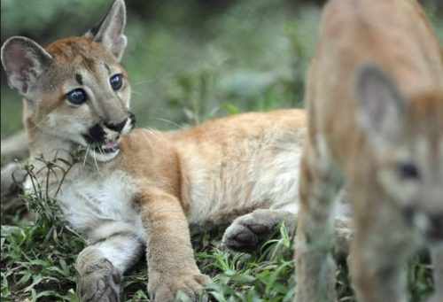 La pantera orientale non c'è più: dichiarata l'estinzione