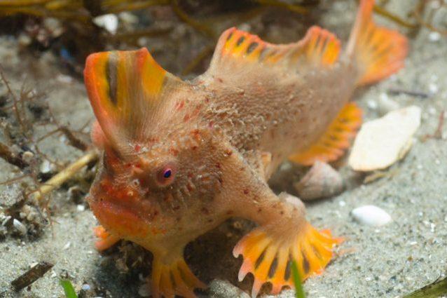 Osservato in Tasmania il pesce più raro al mondo