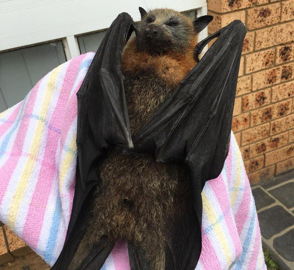 Australia, il caldo fa strage di animali: i pipistrelli muoiono 'bolliti'