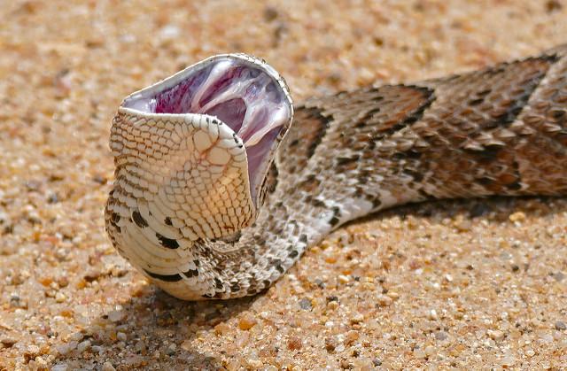 5 Serpenti più velenosi dell'Africa