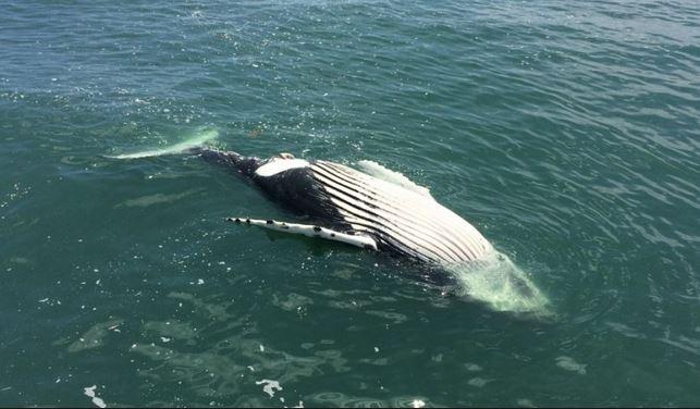 Mammiferi in pericolo: la balena franca nordatlantica rischia di scomparire