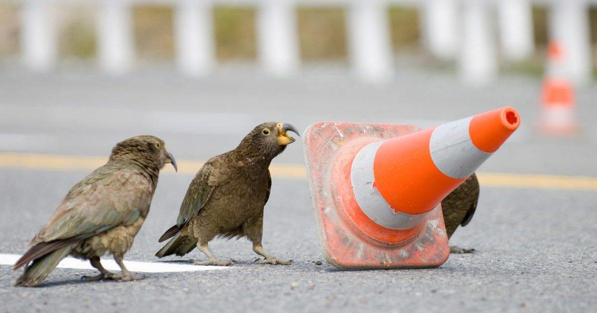 Natura: in Nuova Zelanda i pappagalli fermano il traffico per mangiare